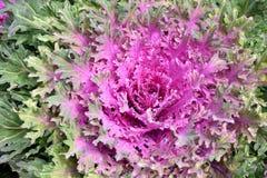 新鲜的有机散叶甘兰绿化,红叶卷心菜庭院 库存图片