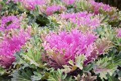新鲜的有机散叶甘兰绿化,红叶卷心菜庭院 免版税图库摄影
