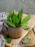 新鲜的有机栗色在沙拉或汤的金属杯子离开 第一绿色春天 健康概念的食物 复制空间 免版税图库摄影