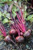 新鲜的有机甜菜根出于地面 有机从事园艺在它最美好 库存图片