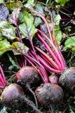 新鲜的有机甜菜根出于地面 有机从事园艺在它最美好 免版税库存图片