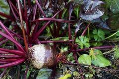 新鲜的有机甜菜根出于地面 有机从事园艺在它最美好 免版税库存照片
