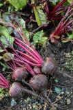 新鲜的有机甜菜根出于地面 有机从事园艺在它最美好 库存照片