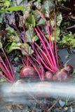 新鲜的有机甜菜根出于地面 洗涤甜菜的土 有机从事园艺在它最美好 库存照片
