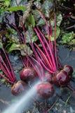 新鲜的有机甜菜根出于地面 洗涤甜菜的土 有机从事园艺在它最美好 免版税库存照片