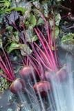 新鲜的有机甜菜根出于地面 洗涤甜菜的土 有机从事园艺在它最美好 免版税库存图片