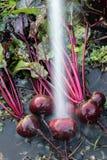 新鲜的有机甜菜根出于地面 洗涤甜菜的土 有机从事园艺在它最美好 库存图片