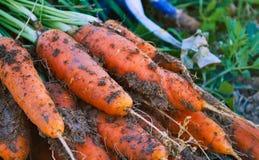 新鲜的有机红萝卜从地面拉扯了肮脏与地球和土壤 库存图片