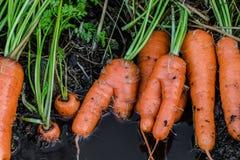 新鲜的有机红萝卜出于地面 有机从事园艺在它最美好 免版税库存图片