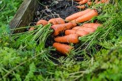 新鲜的有机红萝卜出于地面 有机从事园艺在它最美好 免版税库存照片