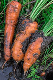 新鲜的有机红萝卜出于地面 有机从事园艺在它最美好 免版税图库摄影