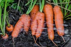 新鲜的有机红萝卜出于地面 洗涤土 有机从事园艺在它最美好 免版税库存图片