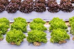 新鲜的有机绿色莴苣菜沙拉在健康、食物和农业构思设计的农场 库存照片