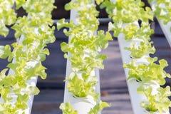 新鲜的有机绿色菜沙拉在水栽法温室农场 库存照片