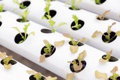 新鲜的有机绿色菜沙拉在水栽法温室农场 免版税库存照片