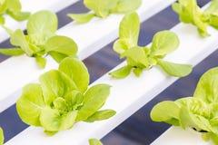 新鲜的有机绿色菜沙拉在水栽法温室农场 免版税库存图片
