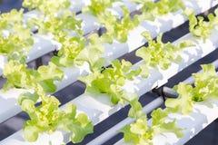 新鲜的有机绿色菜沙拉在水栽法温室农场 免版税图库摄影