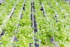 新鲜的有机绿色菜沙拉在水栽法温室农场 库存图片