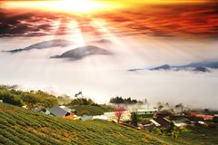 新鲜的有机茶芽&叶子种植园著名Oolong茶 图库摄影