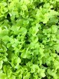 新鲜的有机绿色橡木散叶莴苣沙拉菜农场 未加工的健康素食者自然食物背景 顶视图 库存图片