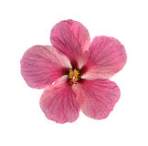 新鲜的木槿花 库存图片