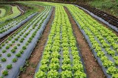 新鲜的未加工的沙拉在Chiangmail 库存图片