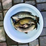 新鲜的未加工的河鱼 派克,鲤属鱼,鲂 抓住 免版税库存照片