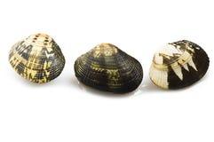 新鲜的未加工的蛤蜊 免版税库存图片