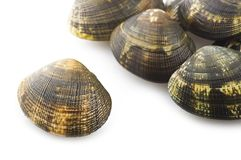 新鲜的未加工的蛤蜊 免版税库存照片