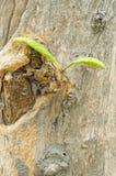 年轻新鲜的柚木树叶子。 免版税图库摄影
