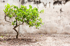 新鲜的柠檬树 库存图片