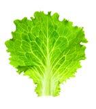 新鲜的查出的散叶莴苣一白色 免版税库存图片