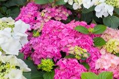 新鲜的桃红色八仙花属在庭院里,五颜六色的八仙花属 免版税库存照片