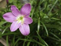 新鲜的桃红色和紫色Zephyranthes minuta 免版税库存照片