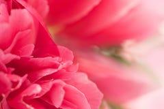 新鲜的桃红色牡丹花 库存图片