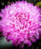 新鲜的桃红色菊花极端特写镜头。 图库摄影