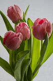 新鲜的桃红色郁金香开花在被隔绝的白色背景的花束 库存照片