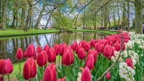 新鲜的桃红色郁金香花园 库存图片