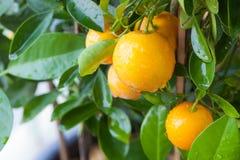 新鲜的桔子用水 库存照片
