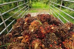 新鲜的棕榈油果子 库存照片