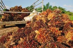 新鲜的棕榈油果子 图库摄影