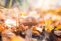新鲜的棕色盖帽牛肝菌蕈类蘑菇在秋天森林里 库存照片