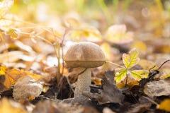 新鲜的棕色盖帽牛肝菌蕈类蘑菇在秋天森林里 库存图片