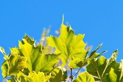 新鲜的槭树绿色叶子 图库摄影
