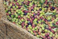 新鲜的橄榄从树  免版税图库摄影