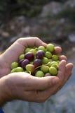新鲜的橄榄 免版税库存图片