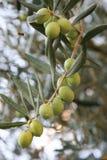 新鲜的橄榄 图库摄影