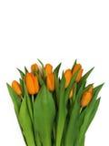 新鲜的橙色郁金香大花束,隔绝在白色背景 免版税图库摄影