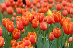 新鲜的橙色郁金香 免版税图库摄影