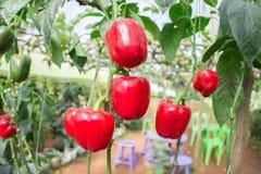 新鲜的水果和蔬菜在庭院里,红色蔬菜、关闭菜和水果 免版税库存照片